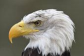 Bald eagle (Haliaeetus leucocephalus) Portrait of an adult, Bird symbol of the United States of America