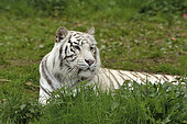 White tiger (Panthera tigris tigris) adult lying in the grass