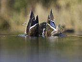 Mallard (Anas platyrhynchos). A drake Mallard in the Peak District National Park, UK.
