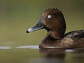 Ferruginous Duck (Aythya nyroca). A Ferruginous Duck in the Peak District National Park, UK.
