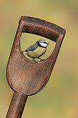 Blue tit (Cyanistes caeruleus) perched inside a fork handle, England