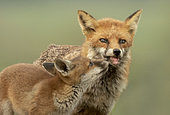 Red fox (Vulpes vulpes) cub begging the vixen fopr food for food, England