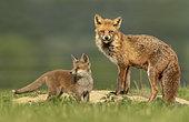 Red fox (Vulpes vulpes) vixen and cub near the earth, England