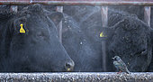 Starling (Sturnus vulagaris) perched amongst cattle, England