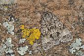 Poplar grey (Acronicta megacephala) Imago at rest, mimicry, Côtes d'Armor, Brittany, France