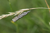 Hook-streak Grass-veneer (Crambus lathoniellus) on an ear, France