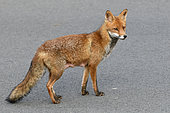 Red fox (Vulpes vulpes) Suckling female in a street in town, Plérin, Côtes d'Armor, Brittany, France