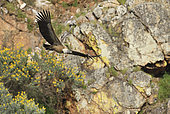 Griffon Vulture (Gyps fulvus) adult in flight reporting a branch to build his nest, Extremadura, Spain
