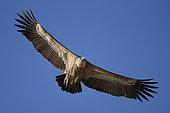 Griffon Vulture (Gyps fulvus) adult in flight, Extremadura, Spain