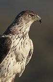 Bonelli`s eagle (Aquila fasciata) head details, Spain