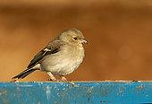 Chaffinch (Fringilla coelebs) perched on a blue fence, England
