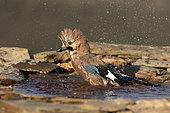 Eurasian jay (Garrulus glandarius) washing in water, Spain