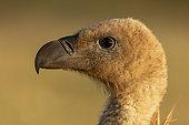 Griffon vulture (Gyps fulvus) head details, Spain