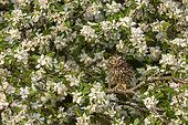 Chevêche d'Athéna (Athene noctua) dans un pommier en fleurs, Angleterre