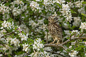 Little owl (Athena noctua) perched in an apple tree, England