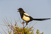 Magpie (Pica pica) calling on top of a tree, Spain