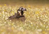 Black vulture ((Aegypius monachus) standing in a meadow, Spain