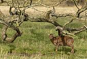 Muntjack deer (Muntiacus reevesi) standing under a tree, England