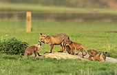 Red fox (Vulpes vulpes) vixen and cubs near the earth, England