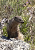 mongoose (Herpestes ichneumon) standing on a stone, Spain
