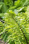 Dryopteris erythrosora 'Brilliance'