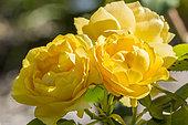 Rosa 'Amber Queen' Obtenteur : Harkness (GBR) 1984