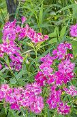 Dianthus barbatus 'Bouquet Purple'