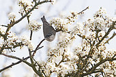 Eurasian Blackcap (Sylvia atricapilla) male in Blackthorn blossom in early spring North Norfolk