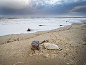 Grey Seal (Halichoerus grypus) mother and pup North Norfolk January