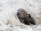 Grey Seal (Halichoerus grypus) bull in surf North Norfolk January
