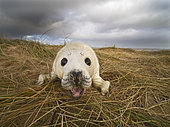 Grey Seal (Halichoerus grypus) pup North Norfolk January
