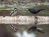 Great spotted Woodpecker (Dendrocopos major) male and male Blackbird (Turdus merula) North Norfolk winter