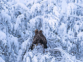 Golden Eagle (Aquila chrysaetos) northern Finland in mid winter