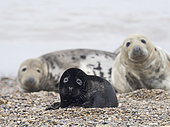 A very rare melanistic Grey Seal Halichoerus grypus pup Horsey Norfolk. Rarely photographed less than one in 400 pups born annually are melanistic, usually the pups are a creamy white in colour.