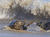 Grey Seal (Halichoerus grypus) male and female Horsey Norfolk.