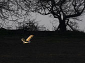 Barn Owl (Tito alba) hunts over a meadow close to Holt North Norfolk in warm spring like weather UK