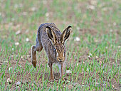 Brown Hare (Lepus europaeus) North Norfolk early spring