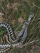 Common European Adder (Vipera berus) two males fighting over a female known as an Adder dance. A male will try and push the rival male ro the ground as they twist and rise together. Holt North Norfolk April