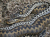 Common European Adder (Vipera berus) male guarding female prior to mating on heath Holt North Norfolk April