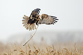 Western Marsh Harrier (Circus aeruginosus) female bringing in nest material in reedbed, North Norfolk, early spring