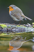 European Robin (Erithacus rubecula), adult standing on the edge of a pond, Campania, Italy