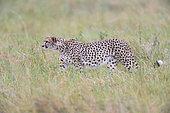 Cheetah (Acinonyx jubatis) waling in the savannah, Kenya , Masaï Mara, National Reserve