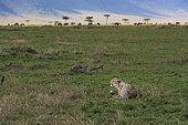 Cheetah (Acinonyx jubatis) lying looking away , Kenya , Masaï Mara, National Reserve