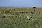 Cheetah (Acinonyx jubatis) looking for a prey, Kenya , Masaï Mara, National Reserve