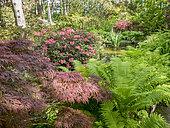 Rhododendrons 'Titian Beauty', Acer palmatum 'Garnet', Matteucia struthiopteris, Parc Floral de Vincennes, Paris, France
