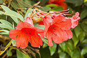 Rhododendron forrestii var. repens 'May Day'
