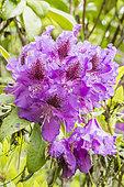 Rhododendron 'Blue Boy'
