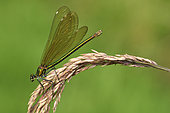 Beautiful demoiselle (Calopteryx virgo) female on the lookout over a clear stream, Creuse, France