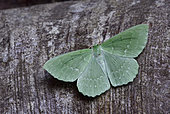 Large Emerald (Geometra papilionaria) Imago on a trunk woods, gardens, Brittany, France