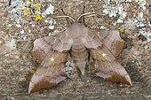 Aspen Hawk-moth (Laothoe populi) Imago freshly emerged female, Plérin, Côtes d'Armor, Brittany, France